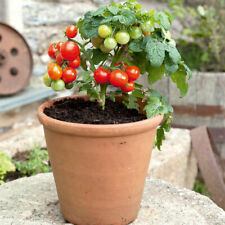 Dwarf cherry tomatoes Balcony indoor potted fruits and vegetables
