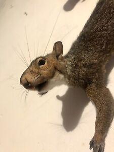 Huge Tail Taxidermy Grey Squirrel Mount W/ Real Teeth Life-size Possum Chipmunk