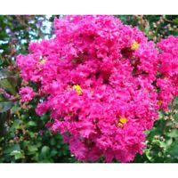 10 Live Clippings! Pink Crape Myrtle Grows Into huge Flower Bearing Tree Organic