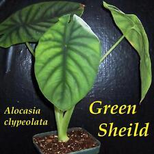 ~GREEN SHEILD~ Alocasia clypeolata Tropical Aroid Philippines Potd Starter Plant