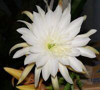 Jungpflanze Epiphyllum Weiß STAR FLIGHT Blattkaktus Kaktus Riesenblüte Kakteen