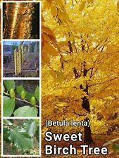 Cherry Birch Tree ~ 35+ Seeds ~ (Betula lenta) ~ Sweet, Black or Mahogany Birch