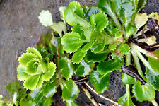 3 Saxifraga Umbrosa rooted offsets. London Pride Alpines Groundcover Rockeries