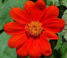 Flor tithonia Torch Mejicano Girasol - 1000 Semillas