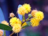 15 Semillas de Acacia Confusa (Acacia Taiwan)