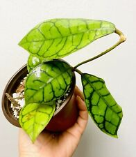 Hoya callistophylla Rare And Beautiful Actual Plant 💕