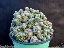 Thimble Cactus Mammillaria Gracilis Fragilis Cactus Cuttings / pups (10)