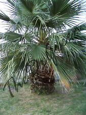 50 Seeds Washingtonia filifera California Fan Palm Short Fat Tree Desert Arizona