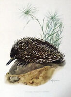 Impression Affiche Histoire Naturelle l'Echidne Tachyglossus aculeatus