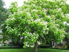 Catalpa bignonioides / Indian Bean Tree, grown peat free as 3L pot plant, 4ft