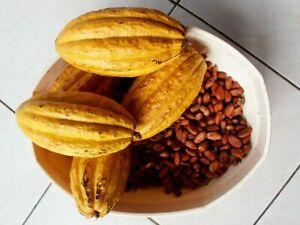 Yellow Pod Theobroma Cacao - 5  fresh seeds