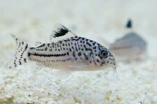 5+1 Julii corydoras (Medium Size) Live Fish 2Day Fedex Shipping