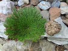 RESURRECTION PLANT LIVE!- PACK of 2 !!!! Rose of Jericho- Dinosaur- Miracle Fern