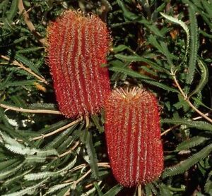 Banksia brownii x 5 seeds (feather-leaved banksia or Brown's banksia).