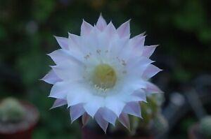 Echinopsis Farbhybride 15/21 weiß rosa
