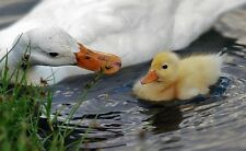 1 DUCK Hatching Eggs - Assorted breeds, purebred and crossbred