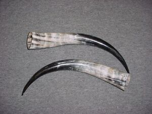 """13"""" - 16"""" STEER Horns Mounted Cow Bull LONGHORN TAXIDERMY Pairs Polished"""