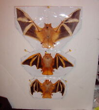 Bat Taxidermy Deluxe Species Painted Bat Kerivoula picta Shown In 3 Position