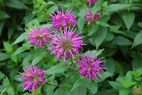 Bee Balm Perennial Seeds 3000+ Bergamot Flower Monarda Fistulosa Mint Butterfly