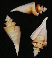 "Spiral,Swirl,Cut,Sliced~Center Lambis Truncata Spider Conch Seashell 5"" ~ Each"
