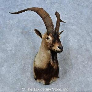 #15285 E | Hybrid Ibex Taxidermy Shoulder Mount For Sale