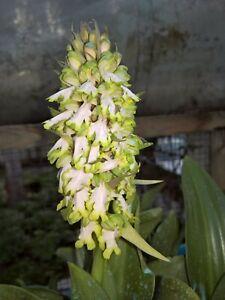 Himantoglossum Robartianum  tuber