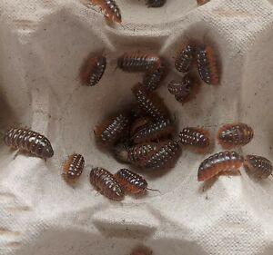 20 Armadillidium Klugii Clown Isopods. Bioactive, live feed, c-u-c. Juveniles