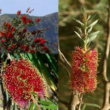 Scarlet Bottlebrush (Callistemon Rugulosus) Seeds 'Bush Tucker Food'