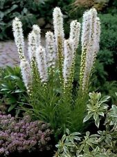 Liatris Spicata~ Blazing Star White Perennial 10 Bulbs