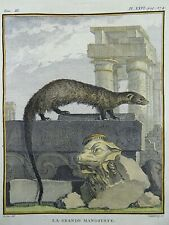 1766 De Seve - Great Mongoose - large QUARTO edition hand colored engraving