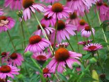 1 JEUNE PLANT ECHINACEA PURPUREA ou RUDBECKIA POURPRE - VIVACE