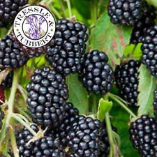 Rare Giant Loch Ness Thornless Blackberry - 10 seeds - UK SELLER