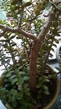 Jade plants BARE ROOTS Out of 3 containers