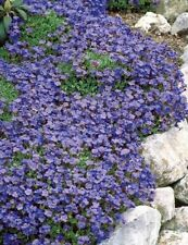 40 graines d'AUBRIETE BLEUE (Aubrieta deltoidea ROYAL BLUE)X439 SEEDS SAMEN SEMI