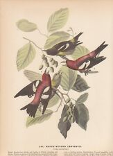 "1942 Vintage AUDUBON BIRDS #364 ""WHITE WINGED CROSSBILL"" Color Art Plate Litho"