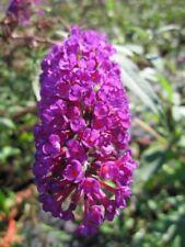 Sommerflieder Charming - Buddleja davidii Charming - Schmetterlingsflieder