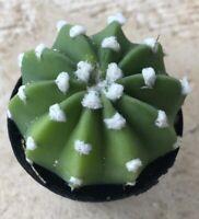 Rare Peruvian Old Lady Cactus White Fuzzy Wild Hair