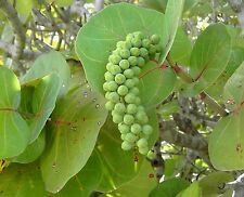 *30 fresh Seeds*Coccoloba Uvifera*Sea Grape*Free Shipping*