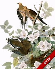 MOURNING TURTLE DOVES BIRDS IN TREE WITH BLOSSOMS PAINTING REAL CANVASART PRINT