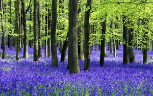SUPERB BLUEBELL WOOD FOREST LANDSCAPE CANVAS #194 QUALITY NATURE CANVAS PICTURE