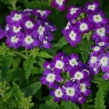 Verbena Seeds Obsession Blue With Eye 50 Verbena Seeds