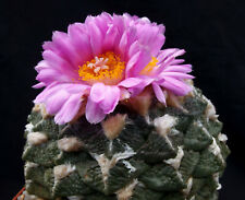 50 Korn ***  Ariocarpus lloydii  Kakteen, Kaktus, Astrophytum