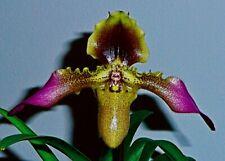 Paphiopedilum Species ´hirsutissimum´ 4N blühstarke Pflanze Orchidee Orchideen