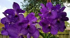 Vanda Packchong Blue x Golamco's Blue Magic, orchid plant
