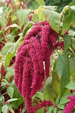 80 graines AMARANTE QUEUE DE RENARD (Amaranthus Caudatus)Y63 SEEDS SEMILLAS