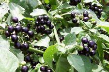 200 Graines Solanum nigrum , Blackberry Nightshade seeds