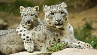 GLOSSY PHOTO PICTURE 8x10 Snow Leopard With Cub
