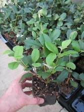 Acca sellowiana 'Triumph' - Ananasguave - Pflanze 30-50cm - Feijoa Frucht