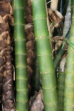 Large Buddha Belly Bamboo Poles 100mm Diameter 5m Lengths