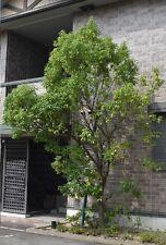 chines. Ulme / Gehölze Bäume für den Garten Blumentopf winterhart schnellwüchsig